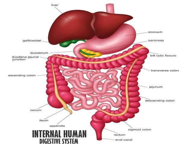الجهاز الهضمي للإنسان